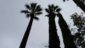 Palm trees are tall.
