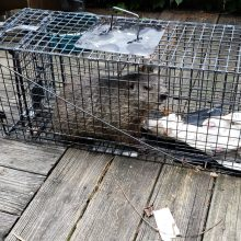 Pittsburgh Feral Cat Trapping TNR