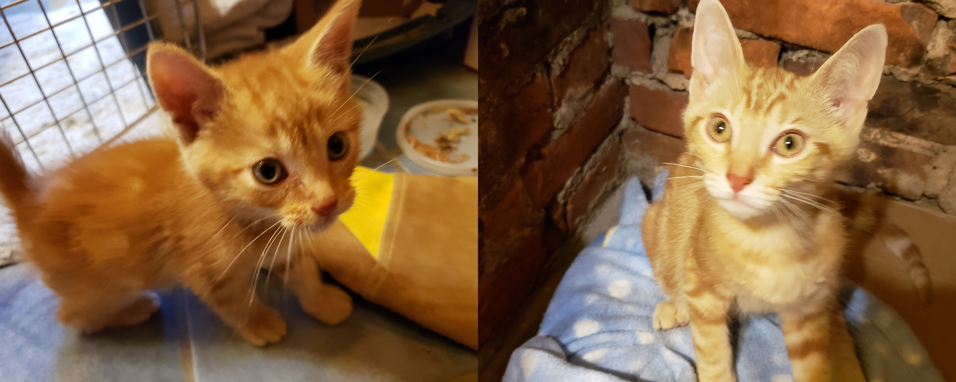 Two photos of an organge tabby cat