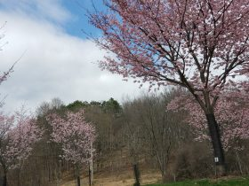 Cherry Blossoms Remind Us Of Renewal